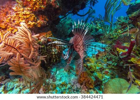 Lionfish (Pterois) near coral, Cayo Largo, Cuba - stock photo