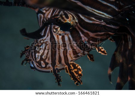 Lionfish (Pterois volitans) have distinctive color patterns and are native to the Indo-Pacific region. This species is now invasive in the Caribbean Sea and found on reefs throughout that region.