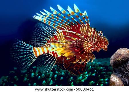 Lionfish, Siam bay. Province Trat. Koh Chang island. Thailand - stock photo