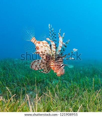 Lionfish swimming over seagrass hunting for food - stock photo