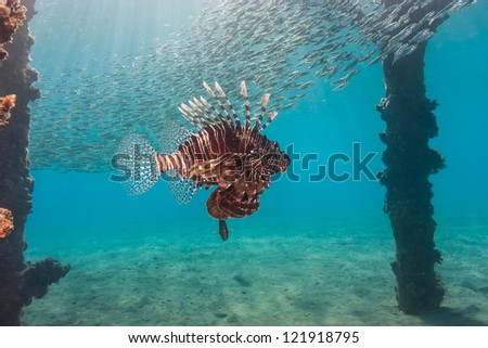 Lionfish swims under a pier while bait fish swirl above - stock photo
