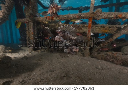 Lionfish under a landing-stage in the Red Sea - stock photo