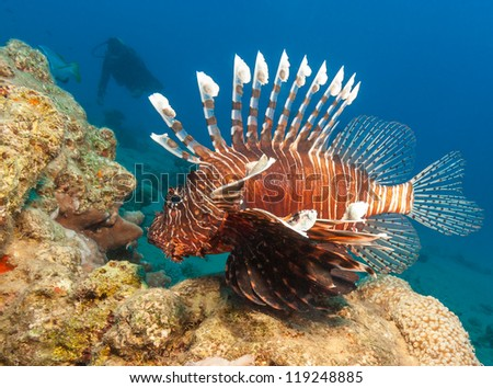 Lionfish with the silhouette of a SCUBA diver behind on a coral reef in the Red Sea - stock photo