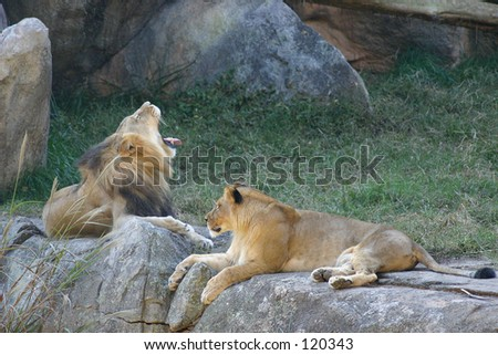 Lions at  NC zoo - stock photo