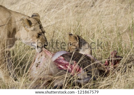 Lions feed on wildebeest carcass in the Masai Mara - stock photo