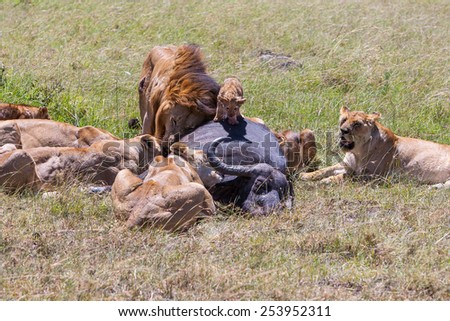 Lions Feeding - lions eats the prey against the backdrop of the savannah, Kenya, Africa - stock photo