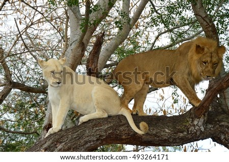 Lions in a tree. Lion male and a lion female. Lion couple