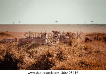 Lions in Masai Mara, Kenya  - stock photo