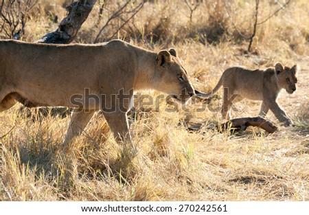 Lions in the bush ,Chobe National park, Botswana - stock photo