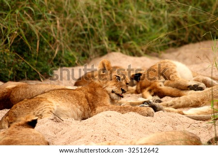 Lions in the Sabi Sand Game Reserve, South Africa