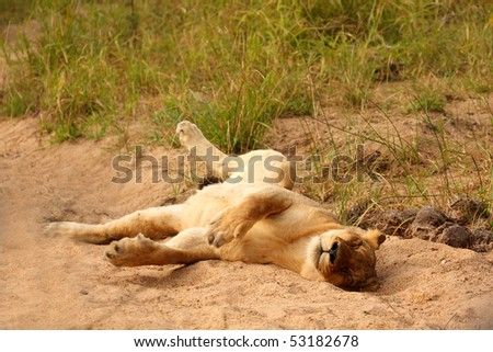 Lions in the Sabi Sand Game Reserve, South Africa - stock photo