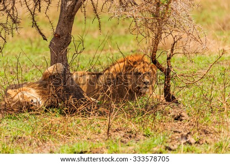 Lions in the Serengeti - stock photo