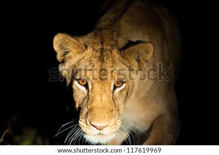 Lions (Leo panthera) at night, Kruger National Park - stock photo