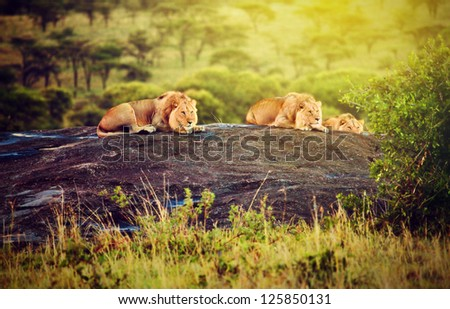 Lions lying on rocks on savanna at sunset. Safari in Serengeti, Tanzania, Africa - stock photo
