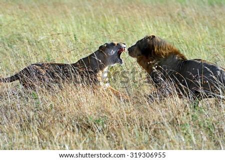 Lions Masai Mara National Park in Kenya - stock photo