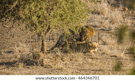 lions mating in savannah, in Kruger national park
