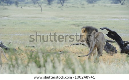 Lions (Panthera leo) Pride male, Nossob, kgalagadi trans-frontier Park, South Africa - stock photo