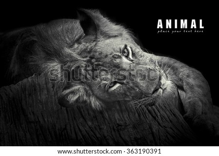 Lions resting in the afternoon