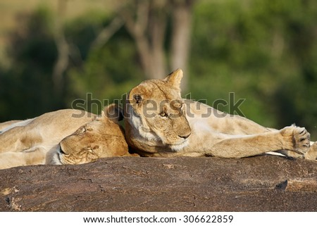 Lions resting on a rock in Masai Mara National Reserve - stock photo