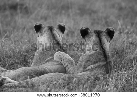 Lions show family love - stock photo