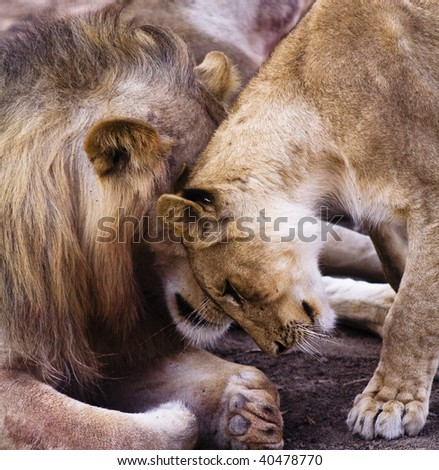 Lions showing affection - stock photo