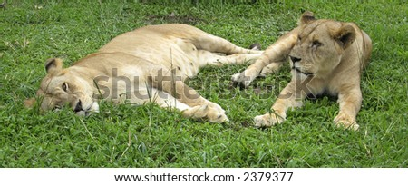 Lions sit on a grass. - stock photo