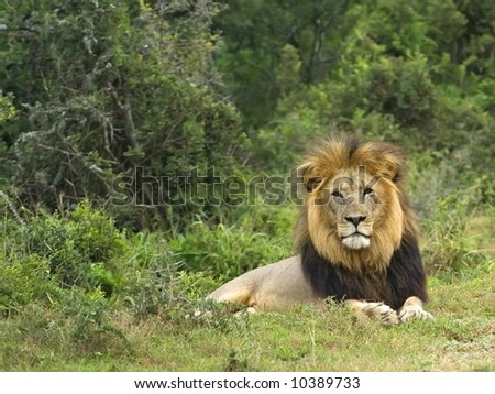 Lions sometimes live in very thick bush - stock photo