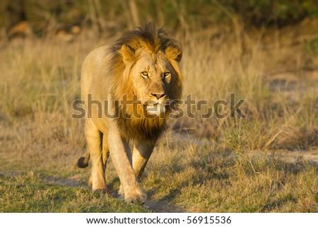 Lions walk - stock photo
