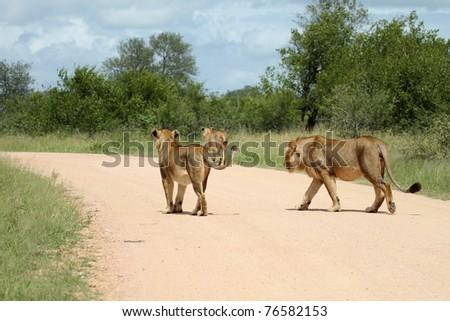 Lions walking along sand road - stock photo