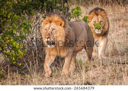 Lions walking in Kenya, Africa - stock photo