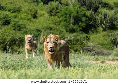 Lions Wildlife Animals Aggressive Young male lions in animal wildlife reserve on the hunt being aggressive