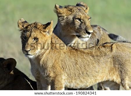 Lionss walking her five cubs through Kenya's Masai Mara - stock photo