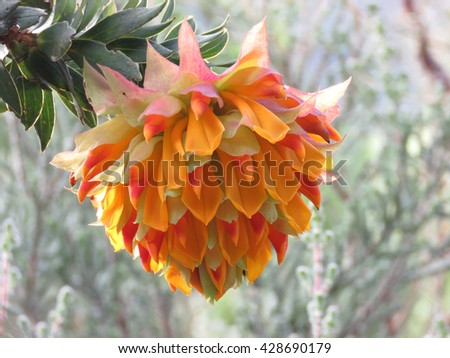 Liparia splendens Flower - with a natural background - stock photo