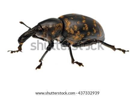 Liparus glabrirostris weevil isolated on white. - stock photo