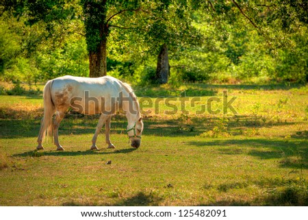 Lipica horse on pasture - stock photo