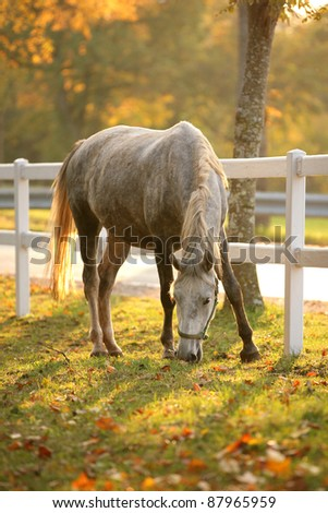 Lipizzan horse grazing in early autumn evening - stock photo