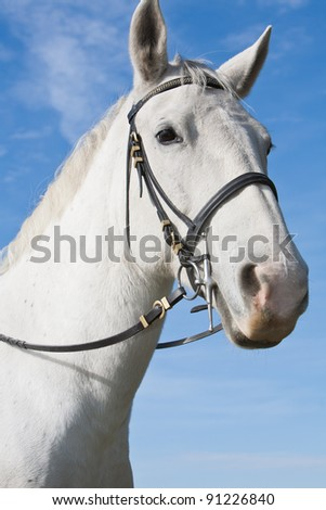 Lipizzaner White Horse Isolated on by the blue sky - stock photo
