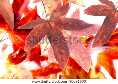 liquidambar or maple leaves in autumn color - stock photo