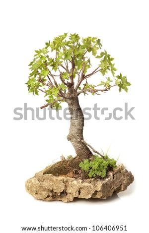 Liquidambar orientalis bonsai isolated on white - stock photo