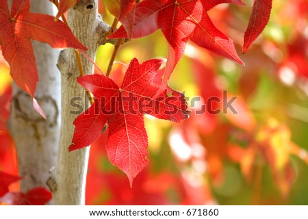 Liquidambar turning color - stock photo