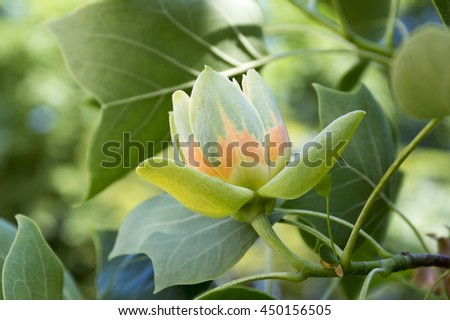 Liriodendron tulipifera, known as the tulip tree, American tulip tree, tuliptree, tulip poplar, whitewood, fiddle-tree and yellow poplar - stock photo