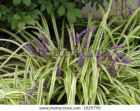 Liriope, a grass like perennial with variegated foliage and purple flower spikes in late summer.