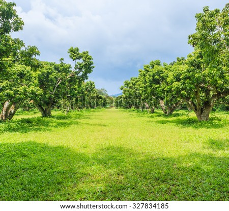 litchi orchard,  lychee orchard - stock photo
