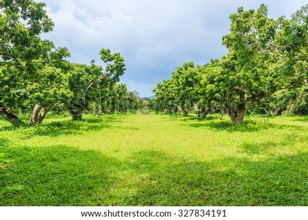 litchi orchard,  lychee orchard
