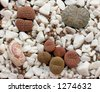 Lithops, a group of cacti on white pebble - stock photo