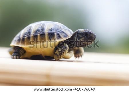 Litle turtle walking - stock photo