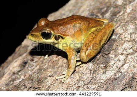 Litoria wilcoxii is a species of frog in the family Hylidae. Also known as the stony-creek frog, eastern stony creek frog and Wilcox's frog, it is endemic to Australia. - stock photo