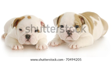 litter mates - two english bulldog puppies laying down with reflection on white background - 6 weeks old - stock photo