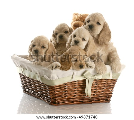 litter of american cocker spaniel puppies in a basket with reflection on white background