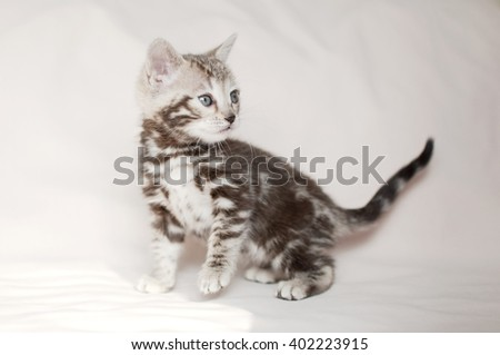 Litter of Bengal kittens. Pedigreed domestic cat. One little marbled kitten. Feline faces close up. Bengal kitten two month old. - stock photo